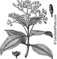 cinnamomum, verum, ou, verdadeiro, canela, vindima, gravura