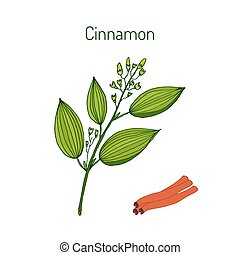 Cinnamomum verum, spice. Hand drawn illustration of cinnamon...