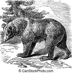 Cinnamon Bear (Ursus occidentalis), vintage engraving