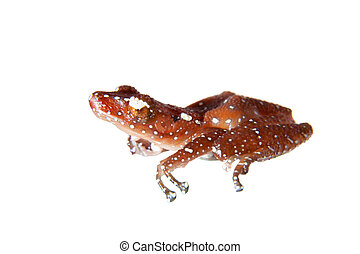 Cinnamon frog, Nictixalus pictus, on white - Cinnamon frog,...