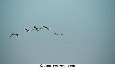 cinq, grand blanc, pélicans, mouche, dans, formation, dans, ciel