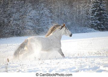 cinzento, andalusian, cavalo, através, gallops, a, neve