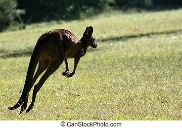 cinzento, canguru, austrália