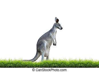 cinzento, canguru, com, grama verde, isolado