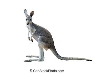 cinzento, canguru, isolado