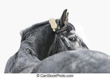 cinzento, cavalo, isolado