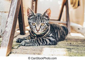 cinzento, gato tabby, com, intenso, dourado, olhos