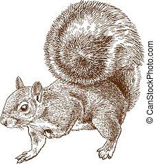 cinzento, oriental, esquilo, gravura, ilustração