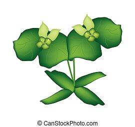 ciprés, dos, spurge, cyparissias, verde, o, euphorbia