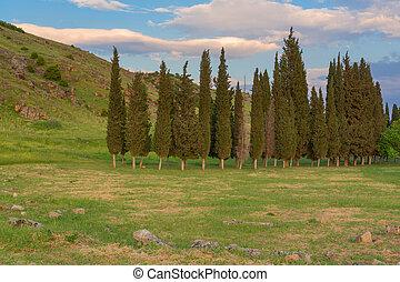 ciprusfa, bitófák, táj, nyár, napnyugta, este, erdő, kaszáló