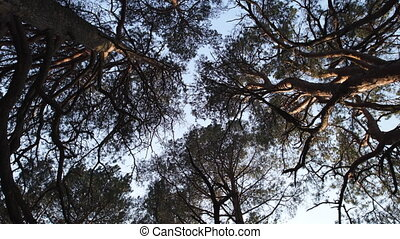 Circle camera movement from ground facing sky with pine...