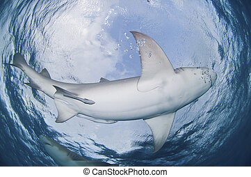 The view from below of lemon sharks swimming in a circle, Bahamas