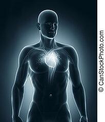 circolatorio, anteriore, maschio, sistema, vista