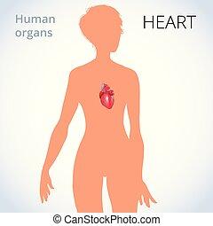 circolatorio, cuore, corpo, sistema, femmina, posizione, umano