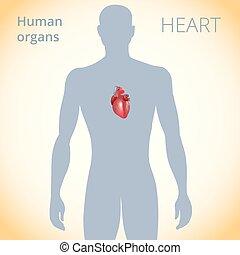 circolatorio, cuore, corpo, sistema, posizione, umano