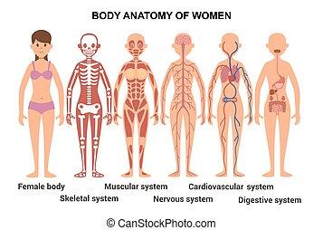 circolatorio, poster., femmina, body., sistema nervoso, sistema, muscolare, anatomico, anatomia, digestivo, umano, scheletrico