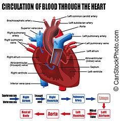 circulatie, van, bloed, door, het hart