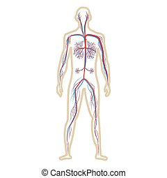 Circulation system of human on white background vector ...