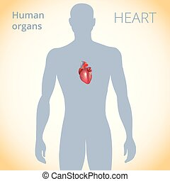 circulatoire, coeur, corps, système, emplacement, humain