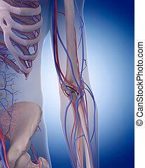 circulatoire, coude, -, système