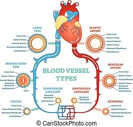 circulatoire, diagramme, pédagogique, system., monde médical, anatomique, vaisseau sanguin, types, information., scheme.
