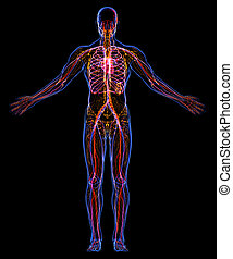 circulatoire, lymphatique, systèmes