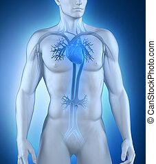 circulatoire, mâle, système, vue antérieure