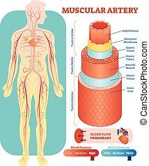 circulatoire, section., pédagogique, système médical, illustration, croix, diagramme, vecteur, musculaire, vaisseau, artère, anatomique, information., scheme., sanguine