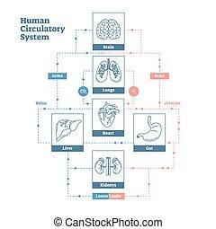 circulatoire, style, humain, contour, affiche, système médical, illustration, diagramme, vecteur, sanguine, propre, infographic., scheme., vaisseaux