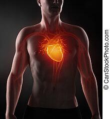 circulatoire, système, homme