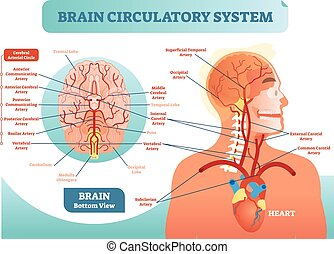 circulatory, diagram., netwerk, cerebraal, scheme., systeem...