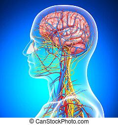 circulatory, hersenen, systeem, menselijk