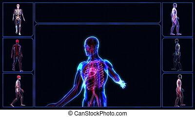 Circulatory System - Human circulatory system