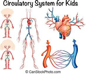 Circulatory system for kids illustration