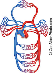 Circulatory System - Illustration showing the circulatory ...