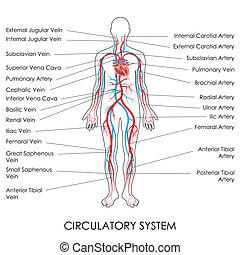Circulatory System - vector illustration of diagram of...