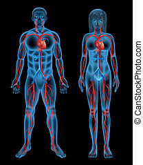 Circulatory system of a human - Illustration of the...