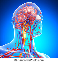 Circulatory system of brain