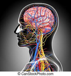 3d rendered illustration of circulatory system human brain anatomy