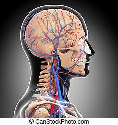 Circulatory system of human head - 3d rendered illustration...