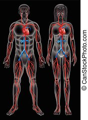 Circulatory system of a male and a female on a black...