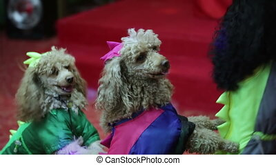 Circus dog - Two well-dressed dog stand on children's...