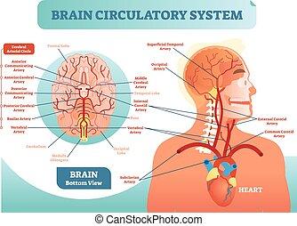 cirkulations, diagram., nätverk, hjärn-, scheme., system, ...