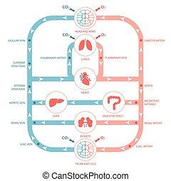 cirkulations- system