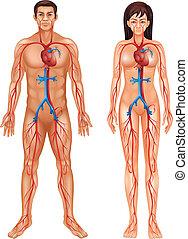 cirkulations- system, mänsklig
