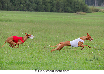cirneco dell etna dog running full speed at lure coursing