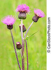 Cirsium arvense flowers on meadow, close up view