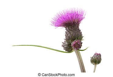Thistle - Cirsium helenioides Thistle isolated on white