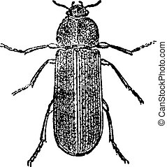 Cis Beetle, vintage engraving.