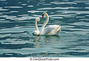 cisne, amor